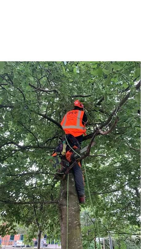 Tree Surgeon Burton on Trent Tree Removal of Branches Thining